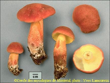 Les champignons - Page 2 Bicolo10