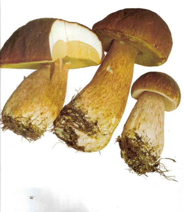 Les champignons - Page 2 Bolet-10