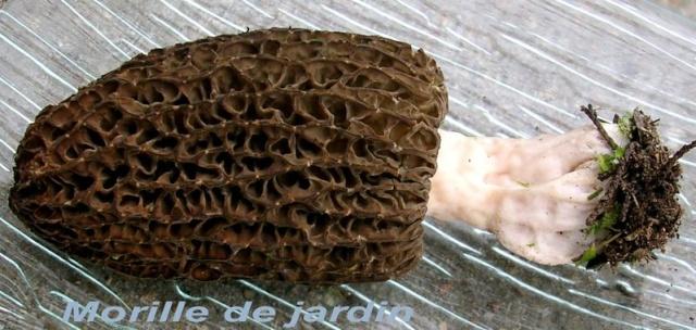 Les champignons - Page 2 Morill10
