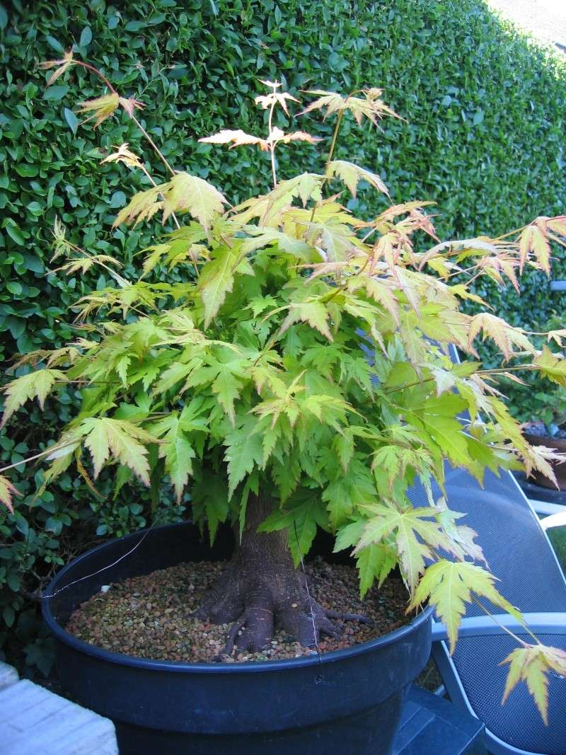 Are these Acers  worth digging up. 01214