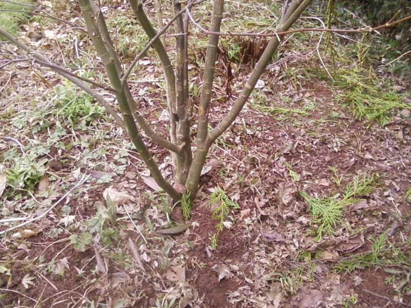Are these Acers  worth digging up. 01310