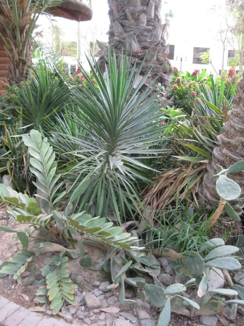 suite photos de jardin d'agaves et autres 2010_112