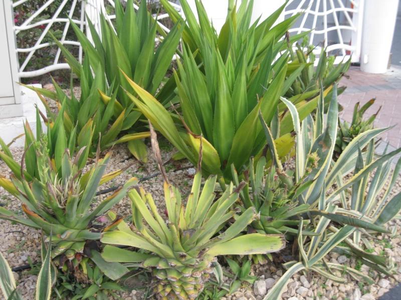 suite photos de jardin d'agaves et autres 2010_114