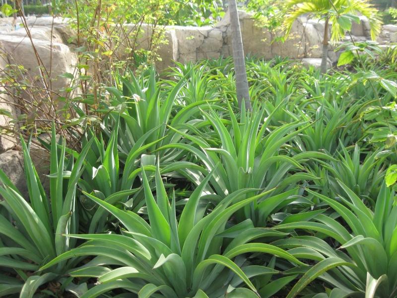 suite photos de jardin d'agaves et autres 2010_810
