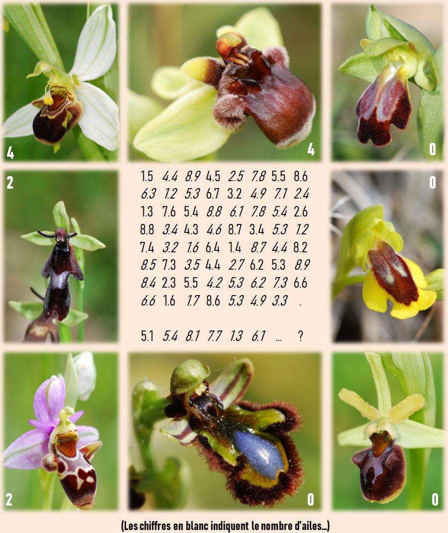 Jeu-énigme sur les Ophrys Enigme10