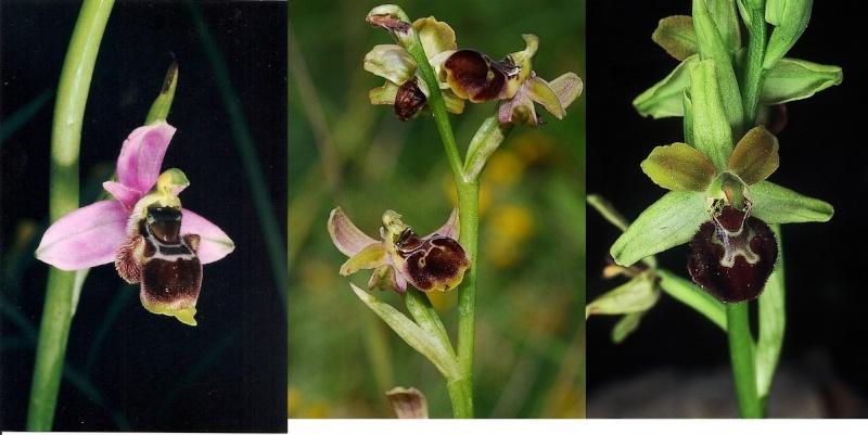 Hybride Ophrys santonica et argensonensis Hyb_ar10