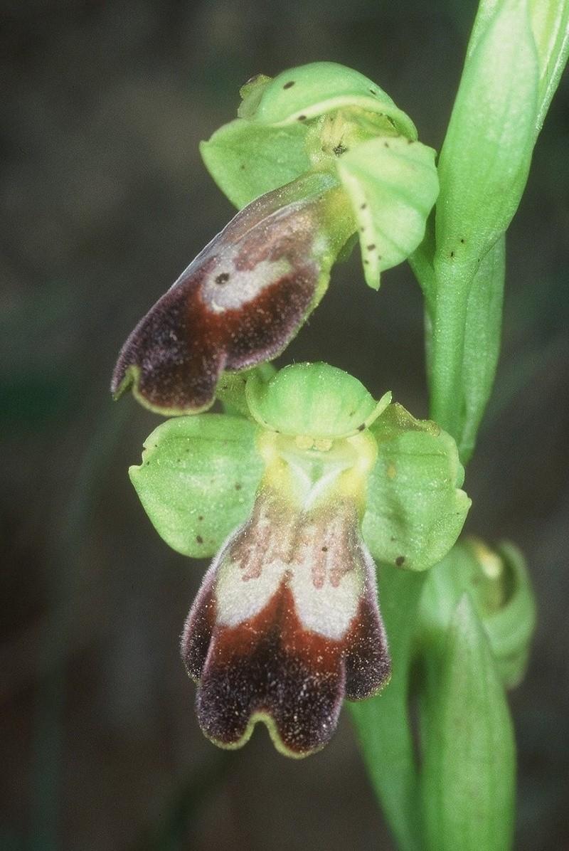 Ophrys lucentina O_bilu10