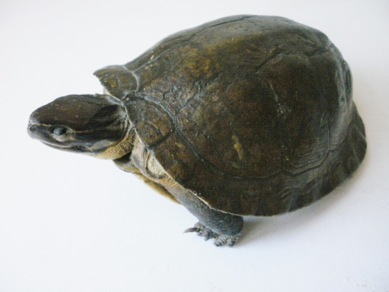 tortue naturalisée P2200015