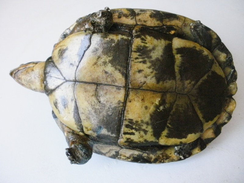 tortue naturalisée P2200016