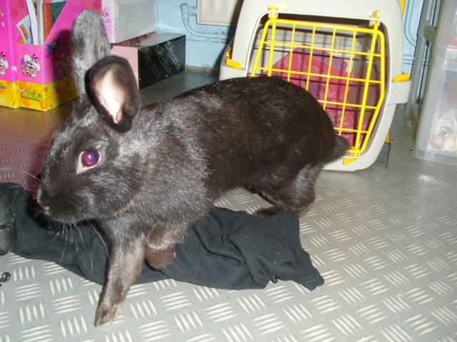 Olive, lapine noire, jeune Je_fui10