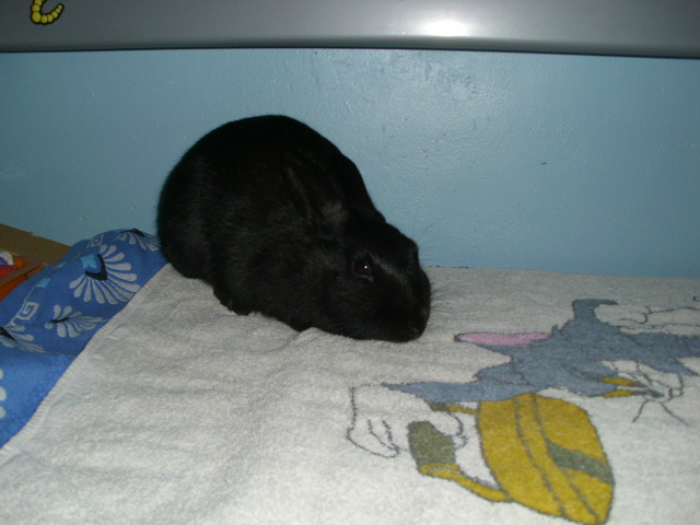 Olive, lapine noire, jeune Olive_12