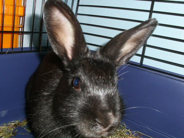Olive, lapine noire, jeune Olive_13