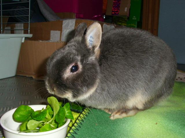Tinou, lapin nain bleu,jeune - Page 2 Tinoum10