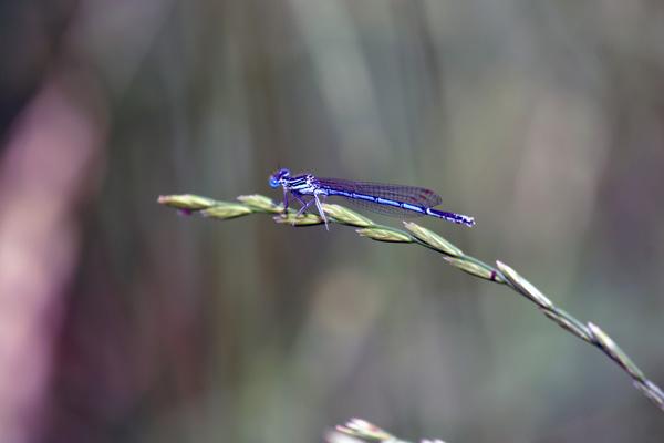 un après-midi de libellules Dsc01810