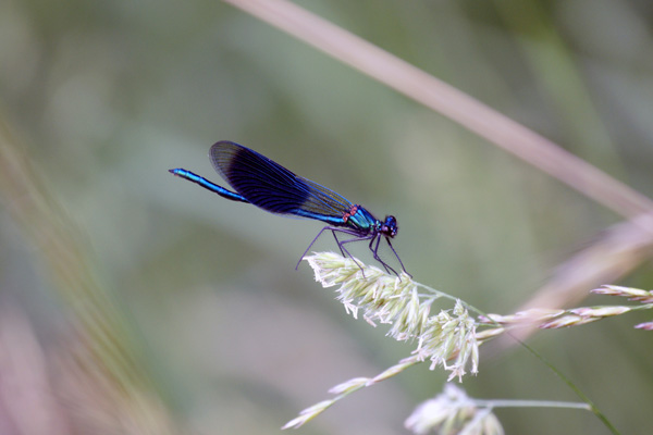 un après-midi de libellules Dsc01811