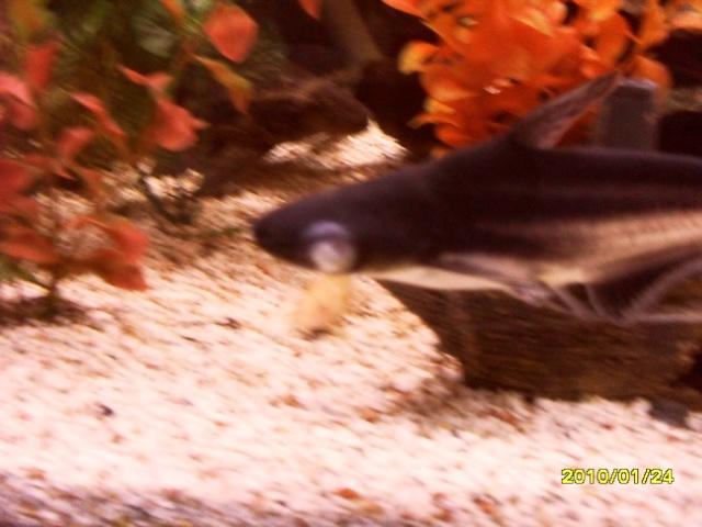 Mon requin domestique Animau20