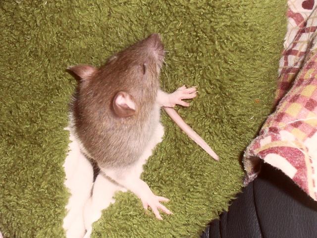 Comment dorment vos rats? - Page 3 Integr21