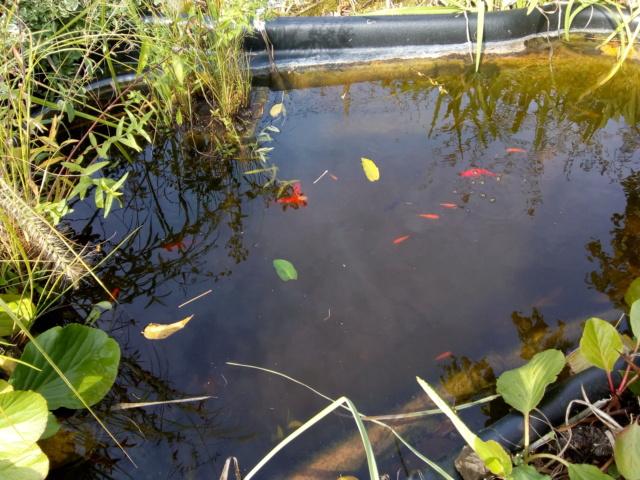 mon jardin ,mon bassin aquatique Img_2015