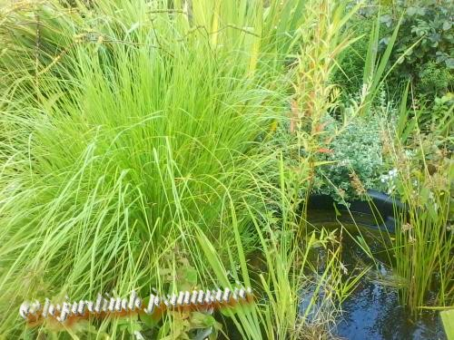 mon jardin ,mon bassin aquatique Monbas10