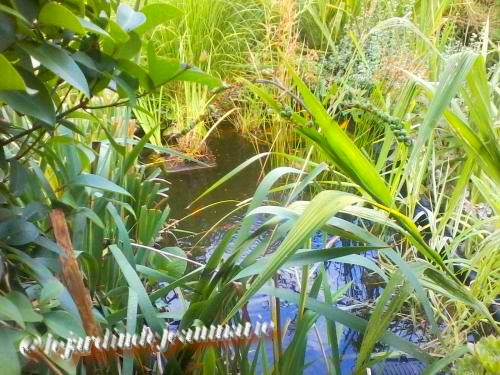 mon jardin ,mon bassin aquatique Monbas11