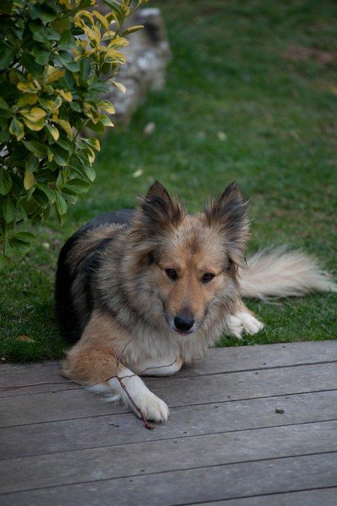 Grim colley x berger allemand de 2 ans mâle Grim11