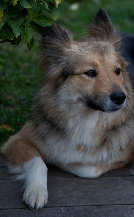 Grim colley x berger allemand de 2 ans mâle Grim110