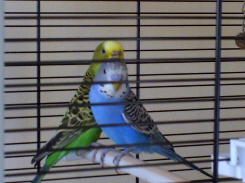 mes perruches que j'adore Bild0113