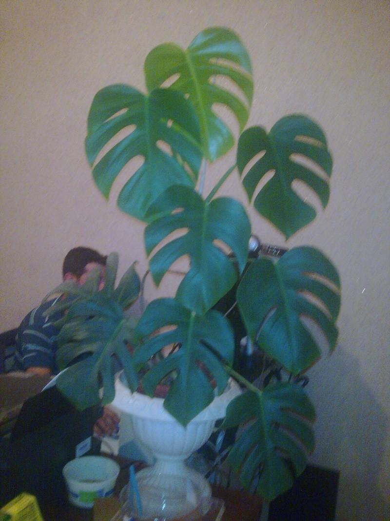 Philodendron-une plante facile à entretenir (variétés, floraison, fruit) 1_phil10