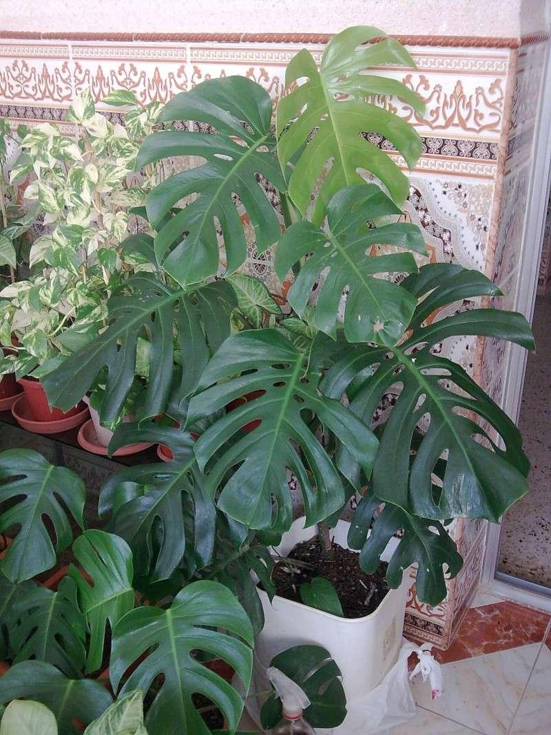 Philodendron-une plante facile à entretenir (variétés, floraison, fruit) 610