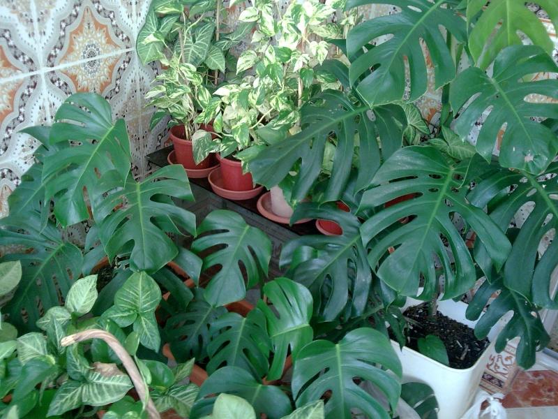 Philodendron-une plante facile à entretenir (variétés, floraison, fruit) 710