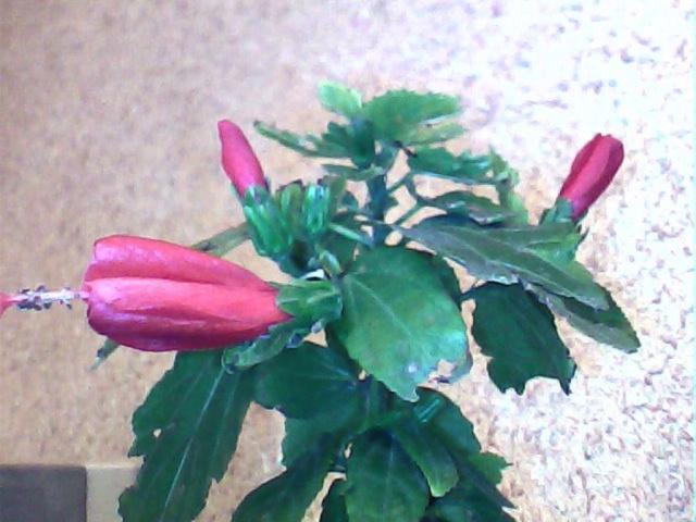 Floraisons de Mars - Page 3 Hibisc10