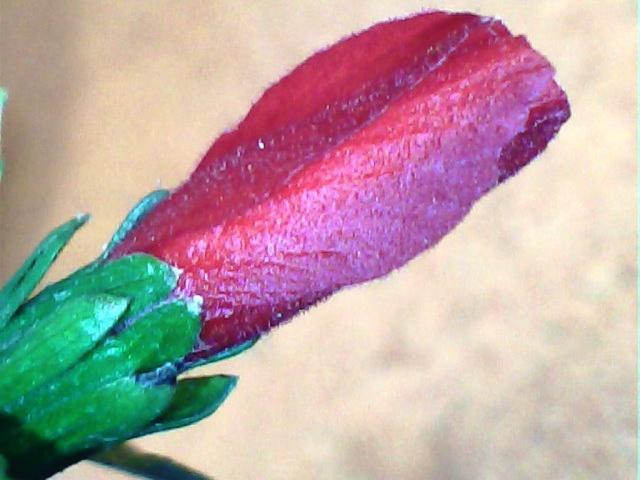 Floraisons de Mars - Page 3 Hibisc12