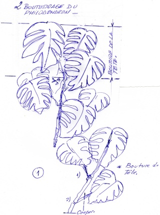 Comment bouturer le Philodendron Img00911