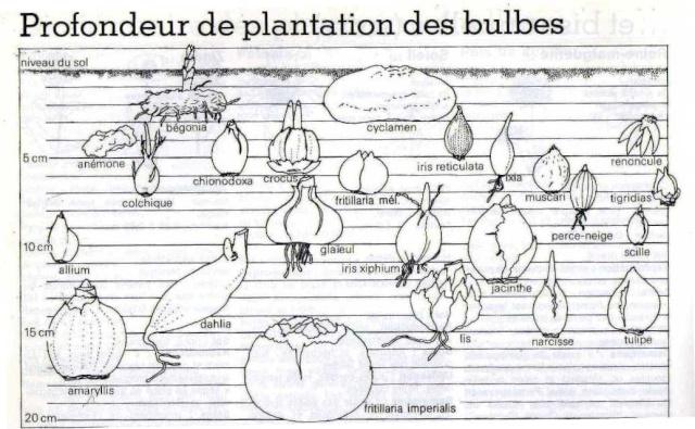 Plantation, culture et floraison des bulbes, des rhizomes, des griffes Img09810