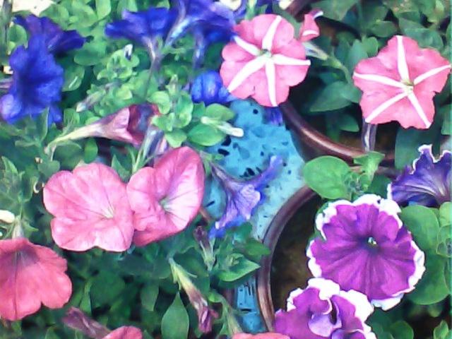 pétunia hybride-une cascade  de couleurs dans nos balcons  Patuni10