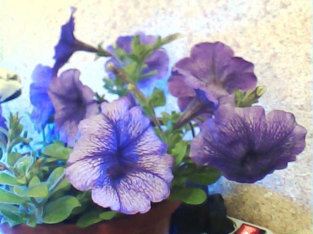 pétunia hybride-une cascade  de couleurs dans nos balcons  Patuni11