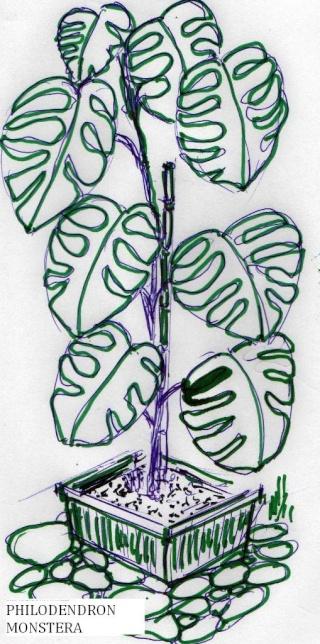 Philodendron-une plante facile à entretenir (variétés, floraison, fruit) Philo11