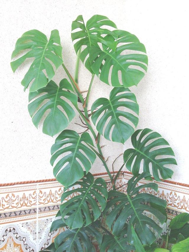 Philodendron-une plante facile à entretenir (variétés, floraison, fruit) Philo110