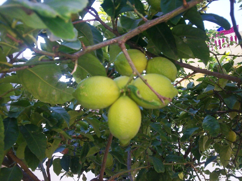 Le citronnier ( citrus limonum ) Photo011