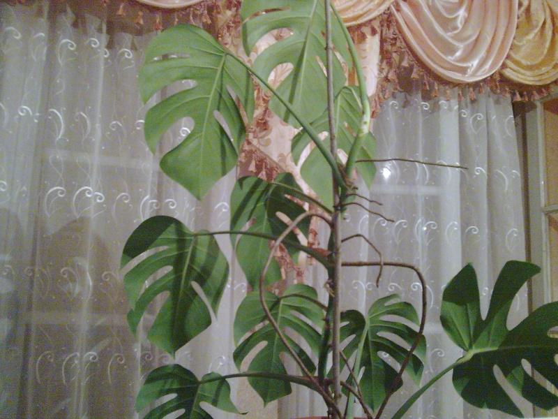 Philodendron-une plante facile à entretenir (variétés, floraison, fruit) Photo012
