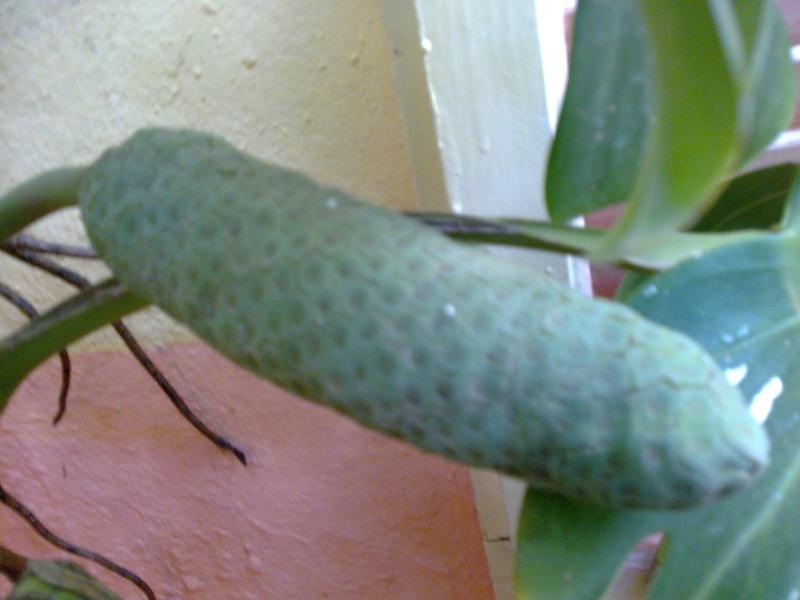 Philodendron-une plante facile à entretenir (variétés, floraison, fruit) Photo013