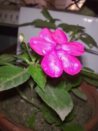 Floraisons de décembre  - Page 2 Photo025