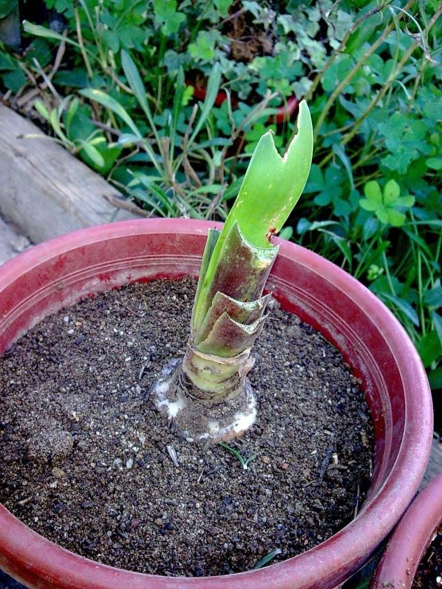 Amaryllis (hippeastrum) -culture, entretien, floraison Photo027