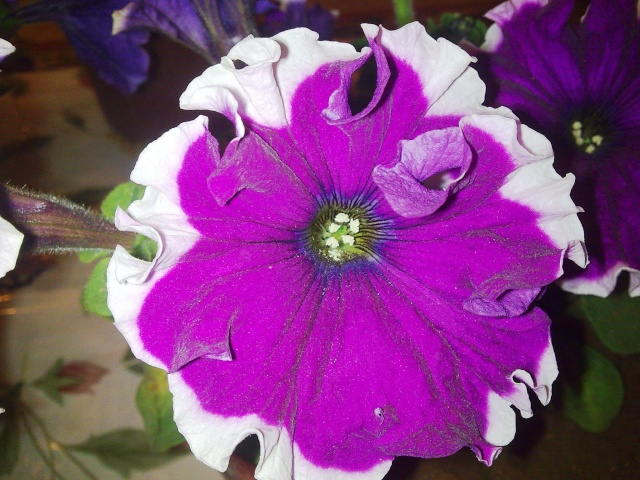 pétunia hybride-une cascade  de couleurs dans nos balcons  Photo058
