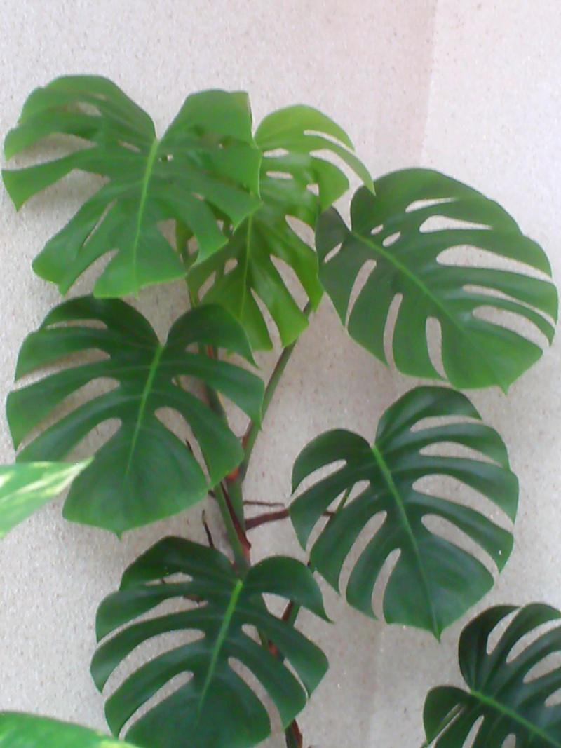 Philodendron-une plante facile à entretenir (variétés, floraison, fruit) Pict0016