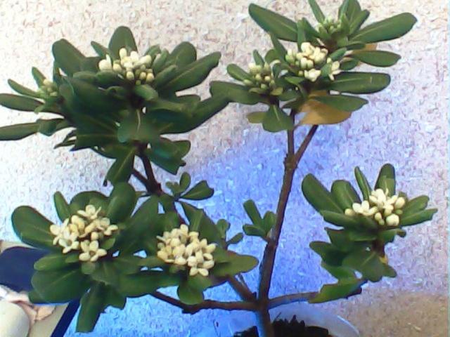 Pittosporum- un vert tendre  et une belle floraison Pit210