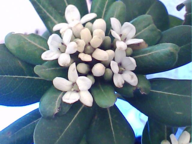 Pittosporum- un vert tendre  et une belle floraison Pit310