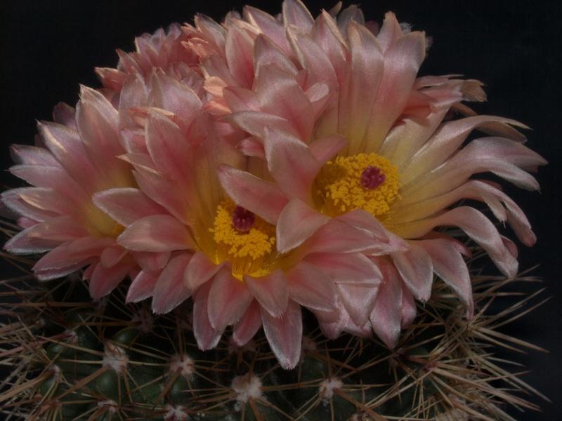 mes petites Floraison P5170910