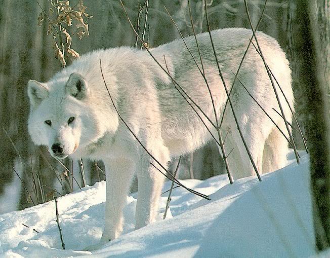[Elluka] Renai Miria Wolf_w10