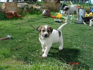 6 Cachorros de mastin en adopción Bony-710